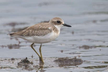 Greater Sand Plover in non-breeding plumage. By the time this species make it to Singapore, it would normally have changed to non-breeding plumage.