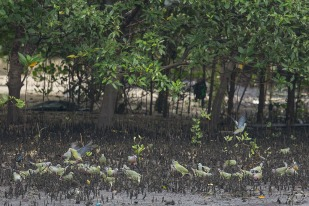 A distant view of the flocks of Pink-necked Green Pigeons and Asian Glossy Starlings feeding at the edge of the mudflats where the aerial roots of the mangroves trees are.