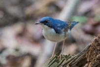 Siberian Blue Robin at Lower Peirce