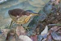 A male Von Schrenck's Bittern foraging for food in a stream at Lower Peirce.