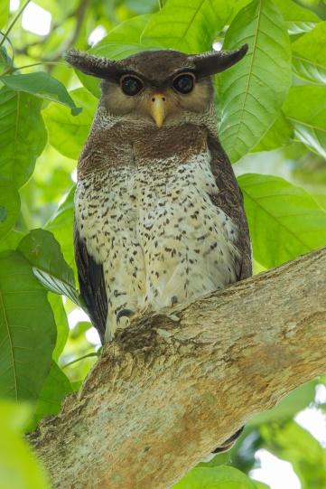 Barred Eagle-Owl at Le Grandeur Palm Resort , Johor.