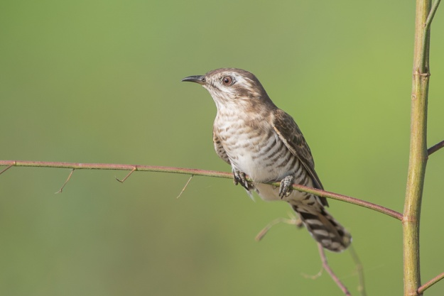 Horsfield's Bronze Cuckoo at Punggol Barat