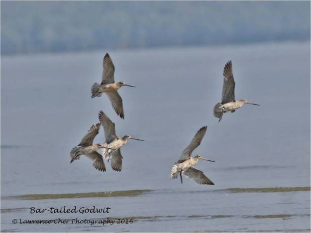 bar-tailed-godwits-lawrence-cher