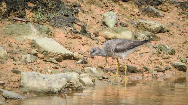 grey-tailed-tattler-zacc