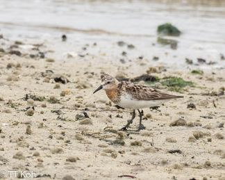 red-necked-stint-tt-koh
