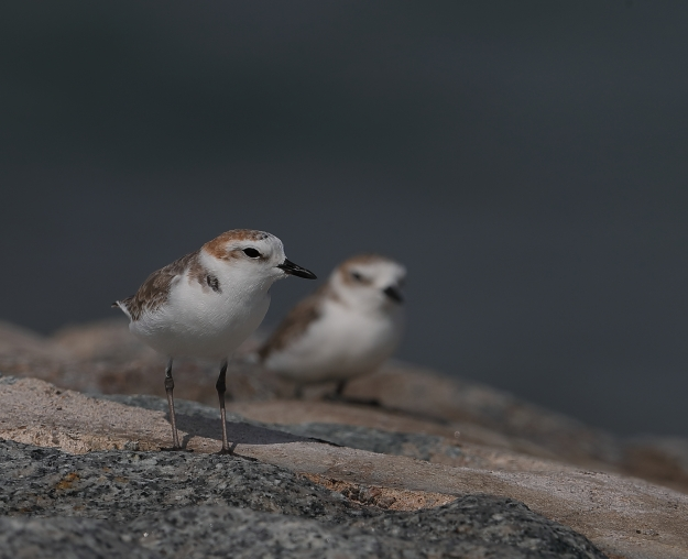 swinhoes-plover-robin-tan