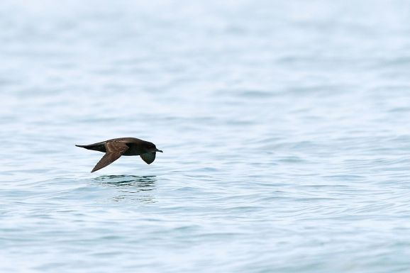 Short-tailed Shearwater Wong Lee Hiong