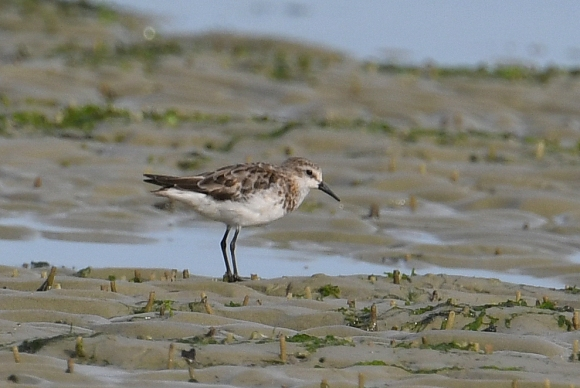 Little Stint David Li