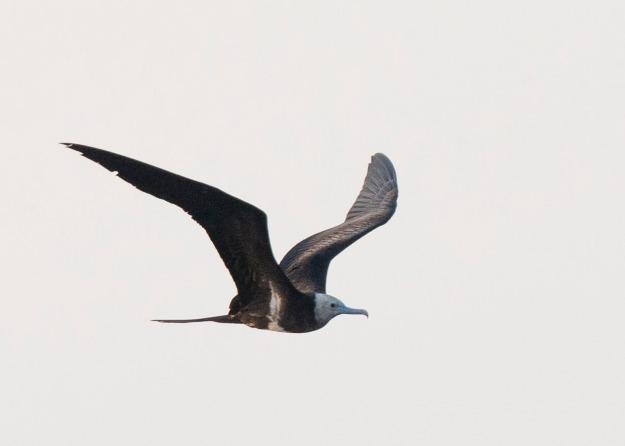 Lesser Frigatebird, STYW