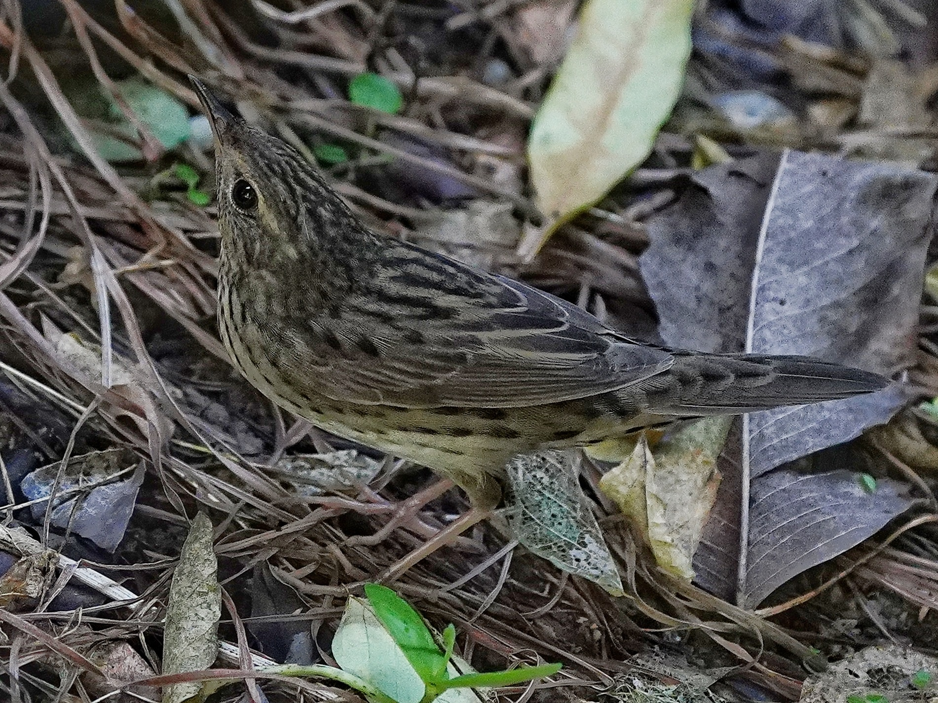 Lanceolated Warbler, 311020, Punggol Park, Andy Chew